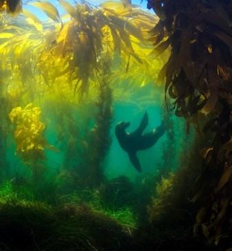 kelp forest sea lion