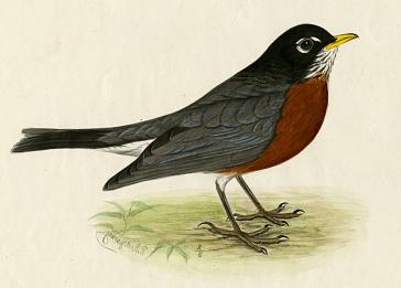 robin redbreast2