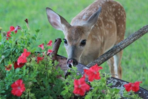garden5--deer